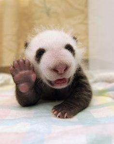 Bebê panda com 37 dias de vida parece sorrir e acenar para a foto em centro de pesquisa chinês (Foto: Katherine Feng/Minden/Solent)