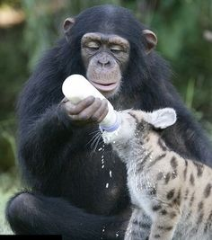 Monkey and a tigercub (2)