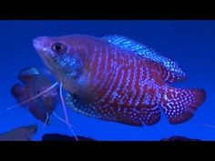 Dwarf Gourami (Trichogaster lalius) - Tropical Fish