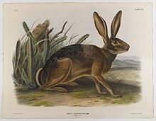 California Hare - John J. Audubon, Brooklyn Museum. Hares have jointed, or kinetic, skulls, unique among mammals. They have 48 chromosomes while rabbits have 44.