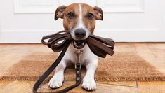 dog holding his leash, waiting to go for a walk