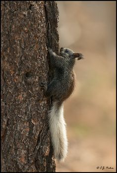 Kaibab Squirrel, Grand Canyon, AZ -  We saw two of these!  They are only found on the north rim.  They are very shy, not like the other squirrels.