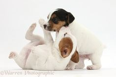 Two playful Jack Russell Terrier puppies, 4weeksold