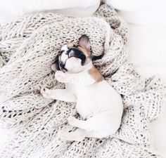 The major breeds of bulldogs are English bulldog, American bulldog, and French bulldog. The bulldog has a broad shoulder which matches with the head. Cute Puppies, Cute Dogs, Dogs And Puppies, Doggies, Animals And Pets, Baby Animals, Cute Animals, Dog Love, Puppy Love