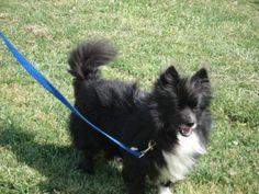 Rocky                            Schipperke/Shetland Sheepdog Sheltie Mix:                   An adoptable                                    dog                                     in                   Jasper, IN