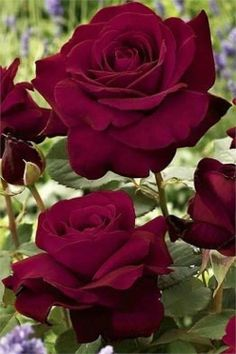 Nearly Black Rose -  Outstanding garden rose with large flowers that have extremely dark red petals which appear to be almost black.