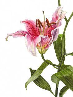 "Anna Mason Art | Stargazer Lily Botanical print from an original watercolor £60 9"" x 12""  Shipped worldwide http://annamasonart.com"