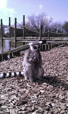 Meet the zoo animals at Folly Farm Folly Farm, Different Types Of Animals, Lemurs, Farm Yard, Zoo Animals, Zebras, Acre, Adventure, Ring