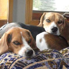 Sleepy babies #beagle
