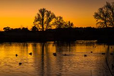 Ducks At Sunrise On Golden Lake Nature Fine Photography Print  MORE OF MY PHOTOGRAPHS CAN BE SEEN AND PURCHASED ON MY WEBSITE: www.jerry-cowart.artistwebsites   http://fineartamerica.com/featured/ducks-at-sunrise-on-golden-lake-nature-fine-photography-print-jerry-cowart.html