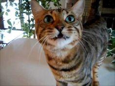 11 choses insolites à propos du chat de Bengal | JDQ