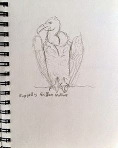 Ruppell's Griffon Vulture at Blair Drummond Safari Park Sketchbook Drawings, Sketching, Bird Sketch, Observational Drawing, Draw Animals, Vulture, Safari, Charcoal, Animation