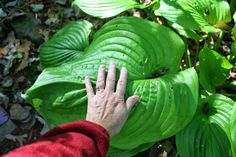 How to Grow Bigger Hostas – Plant Instructions EPSON salts Shade Garden Plants, Hosta Plants, Foliage Plants, Air Plants Care, Plant Care, Garden Yard Ideas, Lawn And Garden, Indoor Garden, Backyard Ideas