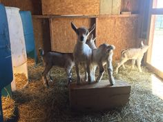 Look we had 4 more baby goats over the weekend.   #babygoats #goats #alpinegoats #alpinegoat #babygoat #goat #babies #kids #boys #funtime #cute #cuteanimals #cutest #cuties #farm #farmlife #animals #picoftheday #photooftheday #photodaily #goatsofinstagram #picoftheweek #born #bestoftheday #pictureoftheday #picofday #picoftheweek