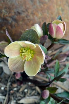 Hellebores, also called Lenten Rose. An amazing flower that blooms year round, even in winter when it's snowing.