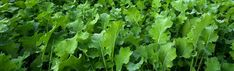Breaks up soil compaction Holds soil from erosion Scavenges for nutrients Kale, Herbs, Cover, Collard Greens, Herb, Cauliflowers, Savoy Cabbage, Sprouts, Medicinal Plants