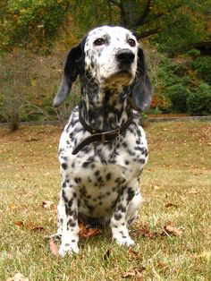 Basset Hound / Dalmation - love! I used to have a Dalmation now I have bassets...I love this!