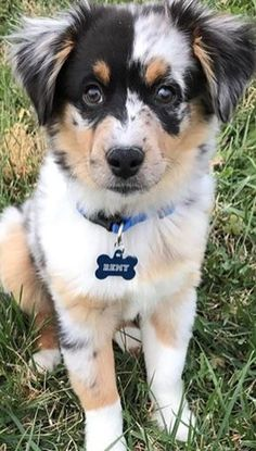 Australian Shepherd Puppy - Cats and Dogs House Aussie Puppies, Cute Dogs And Puppies, I Love Dogs, Doggies, Animals And Pets, Baby Animals, Funny Animals, Cute Animals, Beautiful Dogs