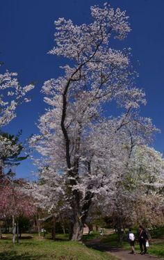 324:「芦野公園にある桜は、これまで見てきた桜とは違い、天にまで届こうかという高さとその姿に圧倒された。しばし我を忘れて見上げていた。」@芦野公園