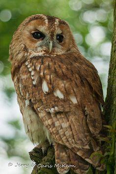 }{    Tawny Owl, lovely