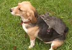 A pet beagle in Australia strikes up an unlikely friendship with a possum after losing her litter of puppies. Beagle Colors, Dumpy Tree Frog, Melbourne, Baby Possum, Coping With Loss, Puppy Find, Cattle Farming, Types Of Animals, Pets