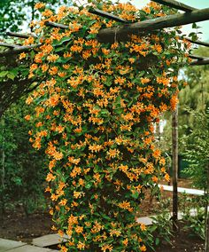 Honeysuckle 'Goldflame' Honeysuckle 'Goldflame' (Lonicera x heckrottii 'Goldflame') is a strong climbing plant with delightfully fragrant flowers. It grows with incredible speed and will thrive anywhere. They are noted for their exquisite fragrance which is stronger in the early evening in order to attract night moths.This is an ideal variety for covering pergolas, fences, walls and railings, as it grows very rapidly. Height supplied approximately 25 cm.