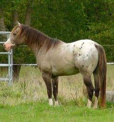 smoky grullo spotted blanket with some splash - Appaloosa stallion Mighty Luminous