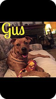 Salisbury, NC - Pit Bull Terrier/Labrador Retriever Mix. Meet Gus, a dog for adoption. http://www.adoptapet.com/pet/13863854-salisbury-north-carolina-pit-bull-terrier-mix