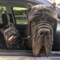"""8,442 Likes, 222 Comments - Loveabully.org (@love.a.bully) on Instagram: """"Someone thinks it's Friday, and someone knows it's Tuesday  @roadogs • Click the link in our bio…"""""""