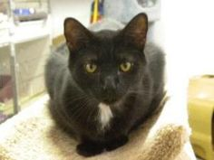 Vinnie is an adoptable Domestic Short Hair Cat in Fort Lauderdale, FL. Vinnie was dropped on the door step with two other siblings. He is very friendly and has a good nature. He would (along with his ...