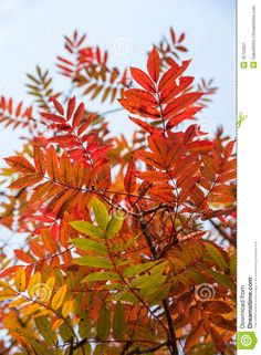 """Ash tree autumn leaves. ....Fraxinus /ˈfræksᵻnəs/, English name ash, is a genus of flowering plants in the olive and lilac family, Oleaceae. It contains 45–65 species of usually medium to large trees, mostly deciduous though a few subtropical species are evergreen. The genus is widespread across much of Europe, Asia and North AmericaThe tree's common English name, """"ash"""", traces back to the Old English æsc, while the generic name originated in Latin. Both words also mean """"spear"""" in their…"""