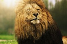 """sleepy lion king"""