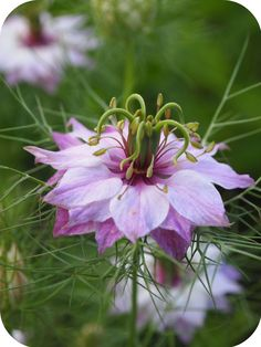 Intercropping: love in a mist can disguise other sensitive crops, like carrots, from harmful insects