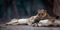Two cuddly lions in Zimbabwe's Mana Pools National Park by Panthera Cats, via Flickr