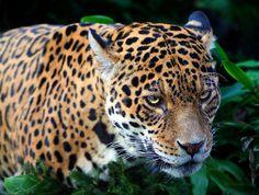 Jaguar | Flickr - Photo Sharing!
