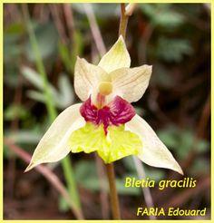 Orchid: Bletia gracilis