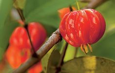 Os frutos da pitanga costumam surgir na primavera. A espécie pode ser cultivada em vasos, com terra mais arenosa e tamanho mínimo de 5 l, o suficiente para o desenvolvimento das raízes