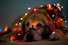 Dog Wrapped in Christmas Lights - Love the nose! I have to do this with Jack if I can get him to sit still long enough!!