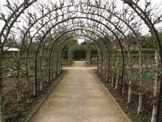 5 Favorites: Espaliered Fruit Trees - Gardenista Above - Conference Pear trees Fruit Trees Uk, Espalier Fruit Trees, Fruit Tree Garden, Pear Trees, Garden Trees, Trees And Shrubs, Orchard Design, Pyrus, Gardens