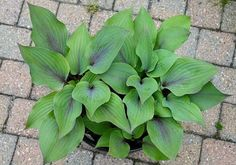 Our new 2020 Hostas are ready for Spring planting.  Beautiful new introductions!  Your neighbors will envy your garden.