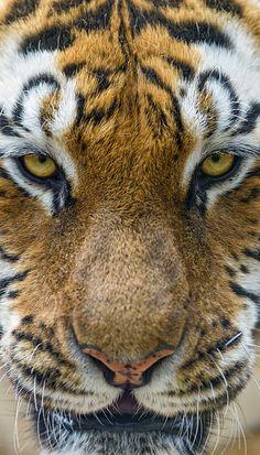 ~~Toundra ~ Amur Tigress by Tambako