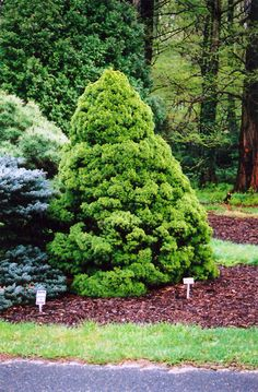 Find Dwarf Alberta Spruce (Picea glauca 'Conica') in Inver Grove Heights, Minnesota (MN) at Gertens Evergreen Shrubs, Flowering Shrubs, Trees And Shrubs, Hydrangea Macrophylla, Plants For Planters, Dwarf Alberta Spruce, Valley Nursery, Low Maintenance Shrubs, Minnesota