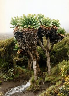 Mount Kilimanjaro- I loved this part of the mountain! Such neat trees. Monte Kilimanjaro, Kenya, Giant Tree, Flora, Out Of Africa, Cactus Y Suculentas, Tree Forest, Belleza Natural, Africa Travel