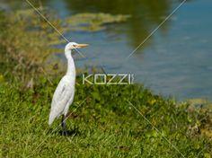 heron bird on the lake - A heron bird standing on the side of the lake