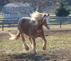 via Gentle Giants Draft Horse Rescue   Bodhi! He is a Belgian/Haflinger cross, retired NYC carriage horse. This boy is amazing, beautiful and also...has an adoption pending. Oh my...how we love our Bodhi! 5/17/2014