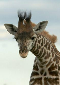 ˚Masai Giraffe