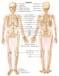 Back skeleton