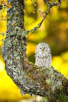 Ural Owl by Peter Krejzl