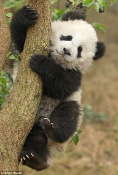 Their faces looks as if they're feeling a little nervous as they attempt to balance on the slim tree trunks of their nature reserve in Cheng http://www.dailymail.co.uk/news/article-2563353/This-climbing-lark-not-easy-looks-Panda-cubs-grips-branches-given-lessons-zookeepers.html..