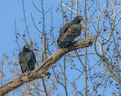2013 Photograph, Turkey and Black Vultures (Cathartes aura, Coragyps atratus), Pohick Bay, Lorton, Virginia. © 2013.  The Black Vulture is on the left.